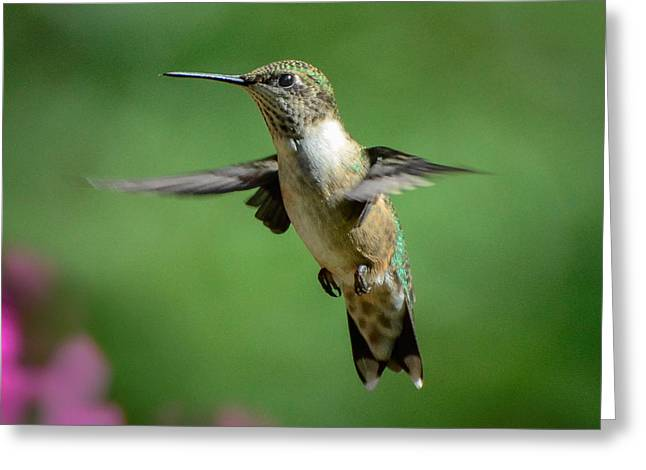 Hovering Hummer Greeting Card by Amy Porter
