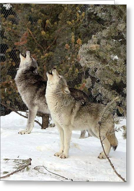 717a Howling Wolves  Greeting Card