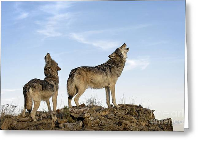 Howling Wolves-animals-image Greeting Card by Wildlife Fine Art