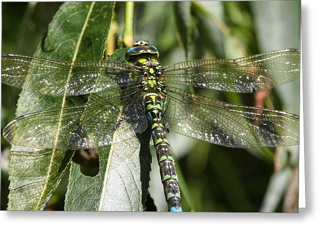 Huge Dragon-fly In Detail. Greeting Card