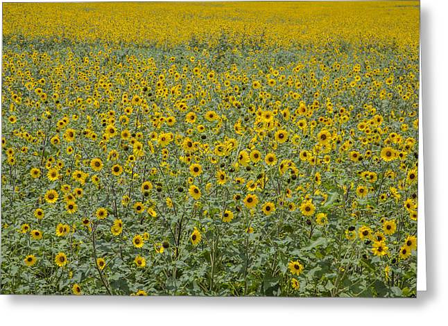Huge Wild Sunflower Colony Greeting Card