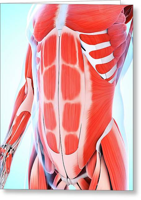 Human Abdominal Muscular System Greeting Card