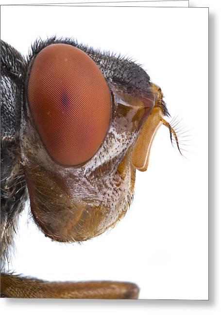 Human Botfly Belize Greeting Card by Piotr Naskrecki