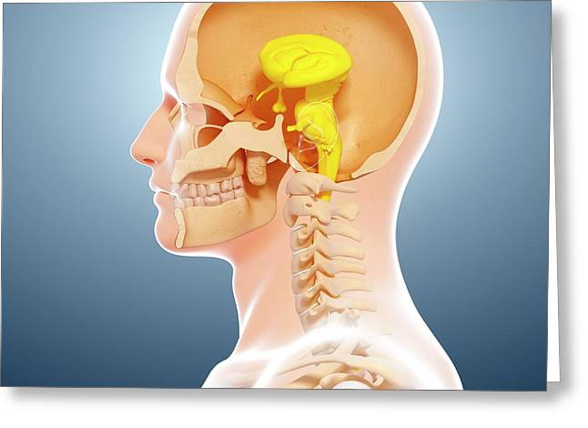 Human Brain Anatomy Greeting Card