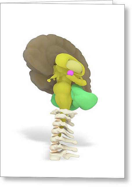 Human Brain And Limbic System Greeting Card by Ramon Andrade 3dciencia