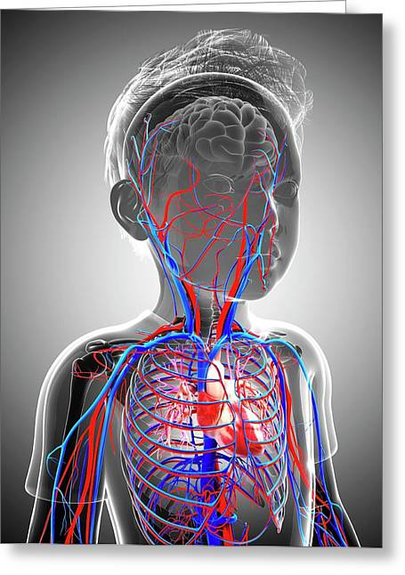 Human Cardiovascular System Greeting Card