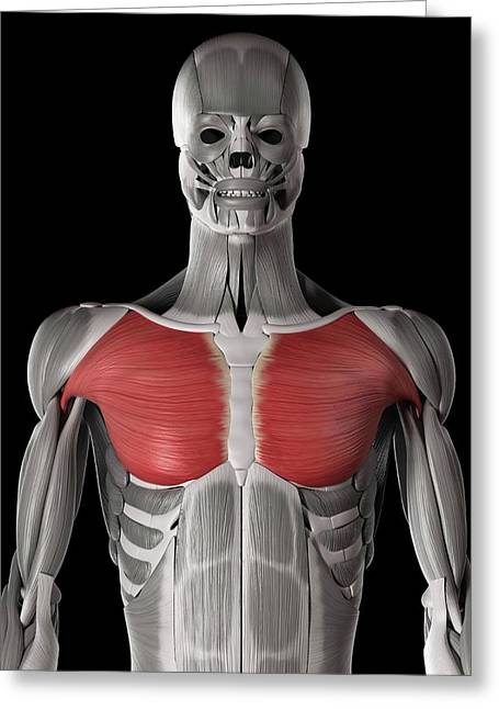 Human Chest Muscles Greeting Card