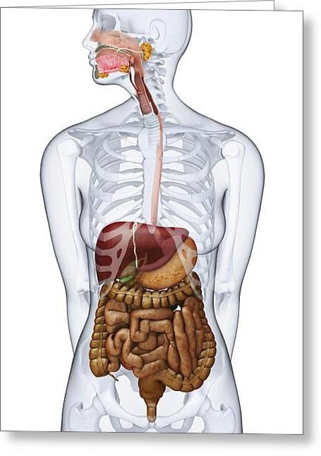 Human Digestive Anatomy Greeting Card