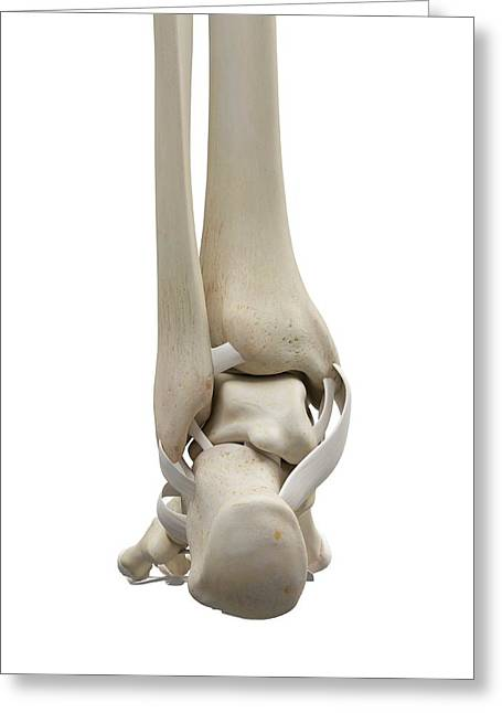 Human Foot Tendons Greeting Card by Sciepro