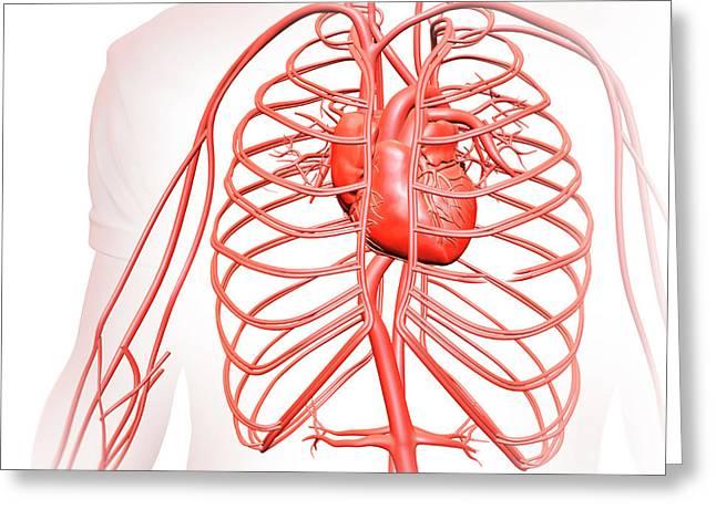 Human Heart And Circulatory System Greeting Card by Andrzej Wojcicki