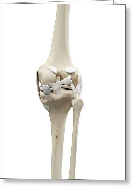 Human Knee Tendons Greeting Card by Sciepro