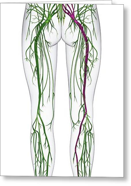 Human Nervous System From Spine To Foot Greeting Card by Dorling Kindersley/uig