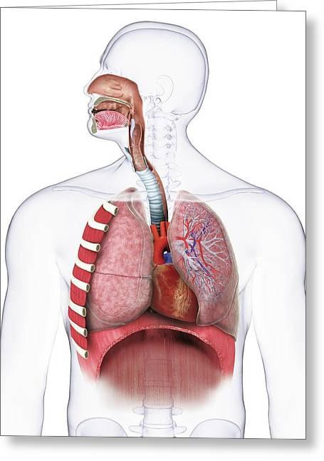 Human Respiratory Anatomy Greeting Card