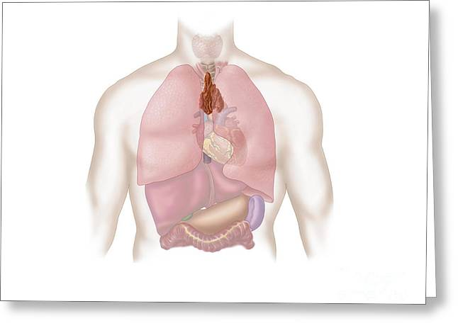 Human Respiratory And Digestive System Greeting Card