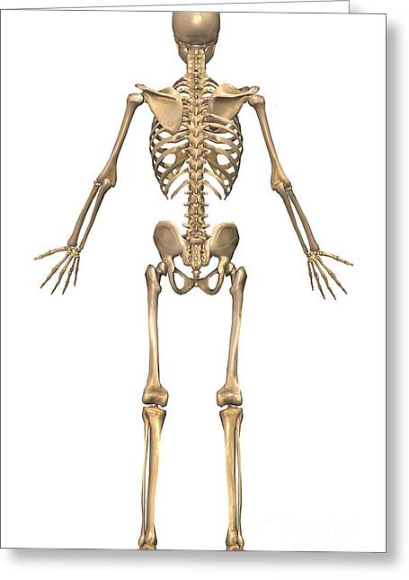 Human Skeletal System, Back View Greeting Card by Stocktrek Images