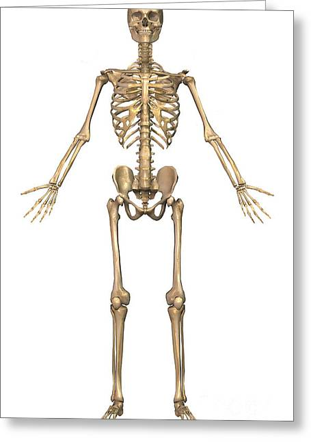 Human Skeletal System, Front View Greeting Card by Stocktrek Images