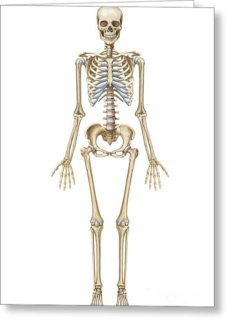 Human Skeletal System, Front View Greeting Card