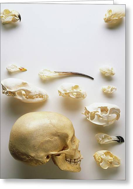 Human Skull And Animal Skulls Greeting Card by Dorling Kindersley/uig