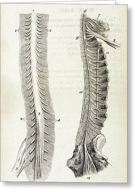 Human Spine And Nerves Greeting Card by British Library