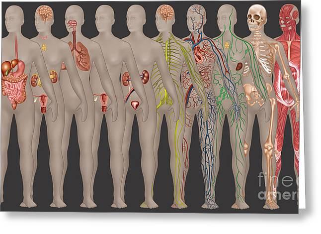Human Systems In The Female Anatomy Greeting Card by Gwen Shockey