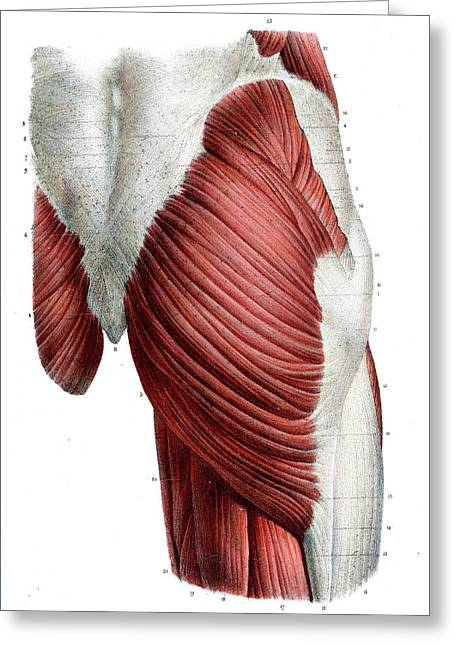 Human Thigh Muscles Greeting Card by Collection Abecasis