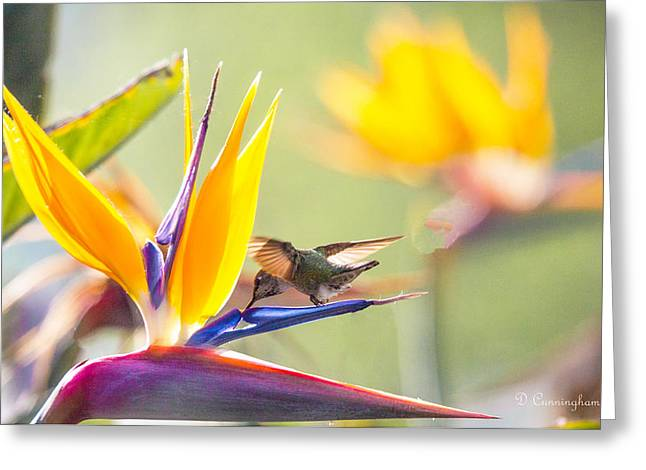 Hummer At Bird Of Paradise Greeting Card by Dorothy Cunningham
