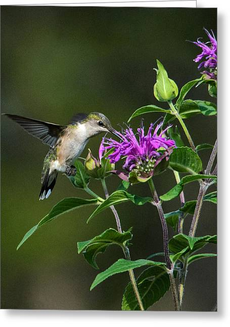 Hummer On Bee Balm Greeting Card