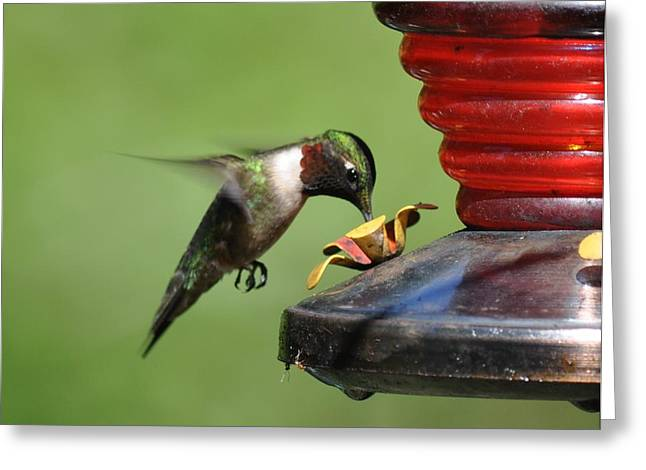 Humming Bird Feeds Greeting Card by James Holloway