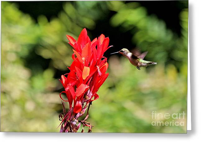 Hummingbird 1 Greeting Card by Jay Nodianos