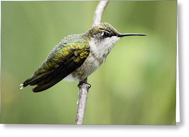 Hummingbird 3 Greeting Card