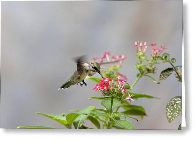 Hummingbird And Penta Greeting Card