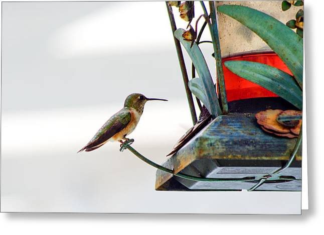 Hummingbird At Rest Greeting Card by Adria Trail