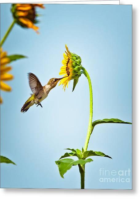Hummingbird At Sunflower Greeting Card by Robert Frederick