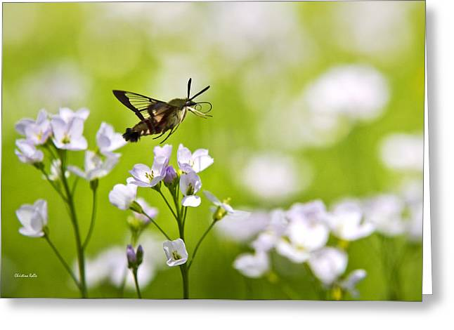 Hummingbird Clearwing Moth Flying Away Greeting Card by Christina Rollo
