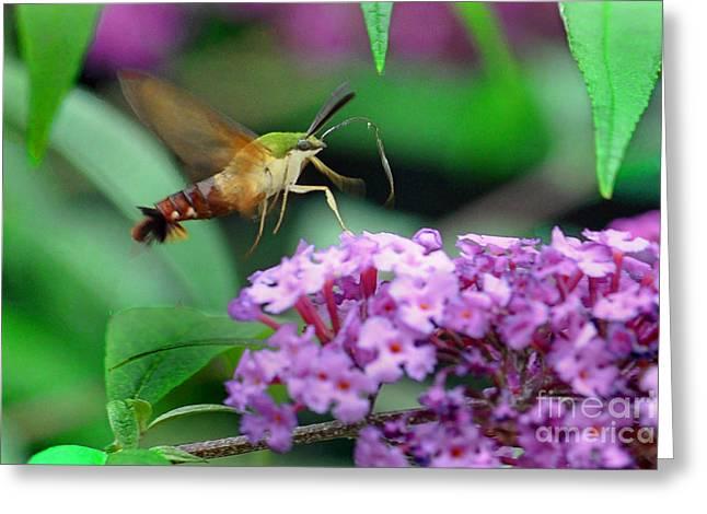 Hummingbird Clearwing Moth Greeting Card by Gary Keesler