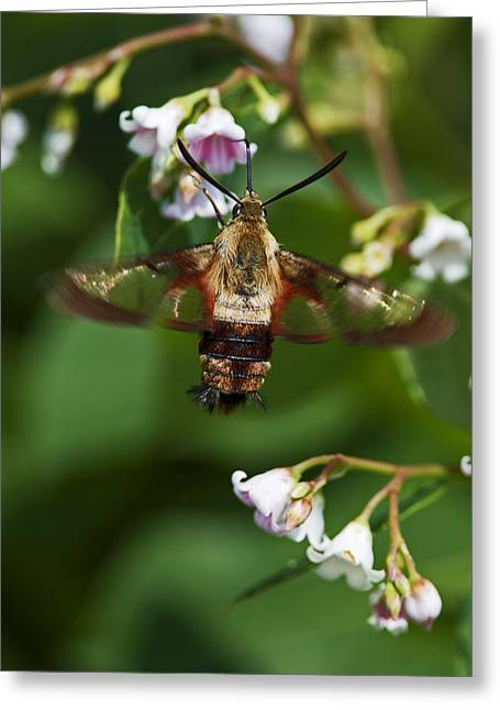 Hummingbird Clearwing... Greeting Card by Nina Stavlund