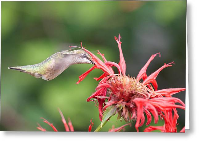 Hummingbird Defying Gravity Greeting Card