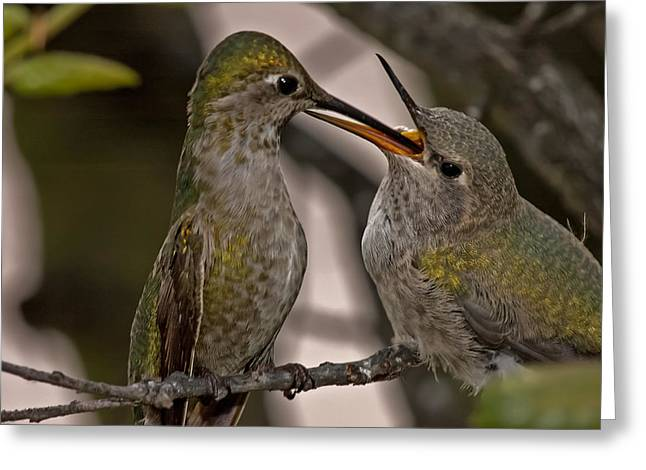 Hummingbird Feeding Baby Greeting Card