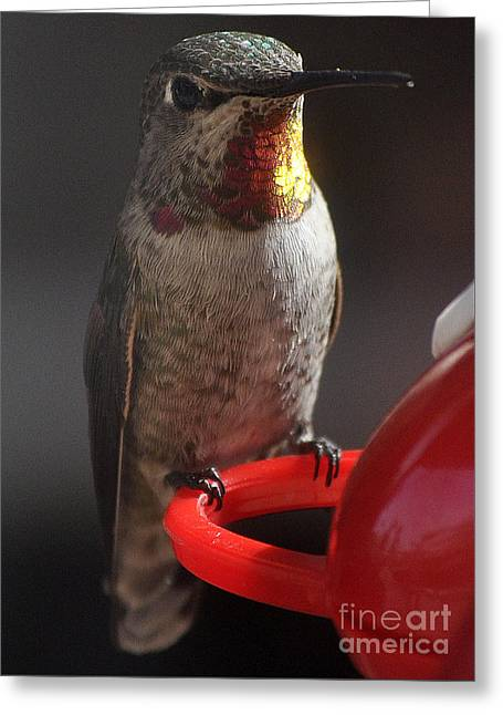 Greeting Card featuring the photograph Hummingbird Female Anna by Jay Milo
