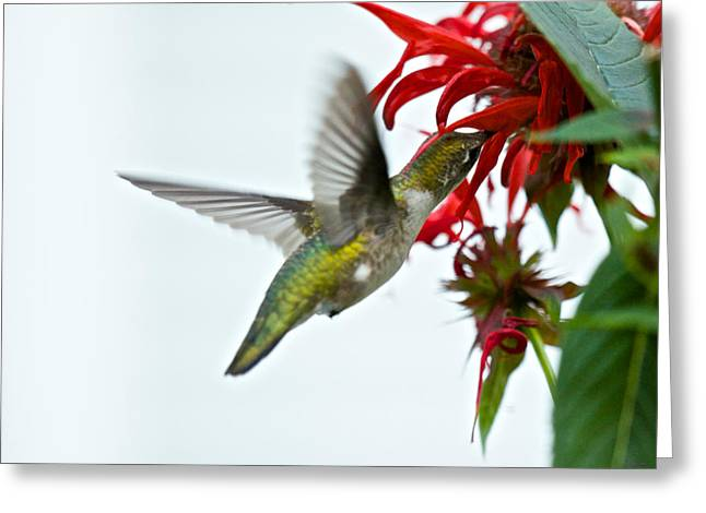 Hummingbird Focused On The Scarlet Bee Balm Greeting Card
