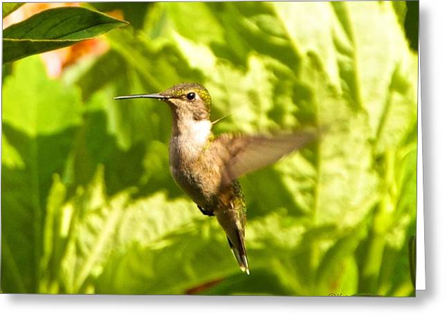 Hummingbird Highlighted By The Sun Greeting Card