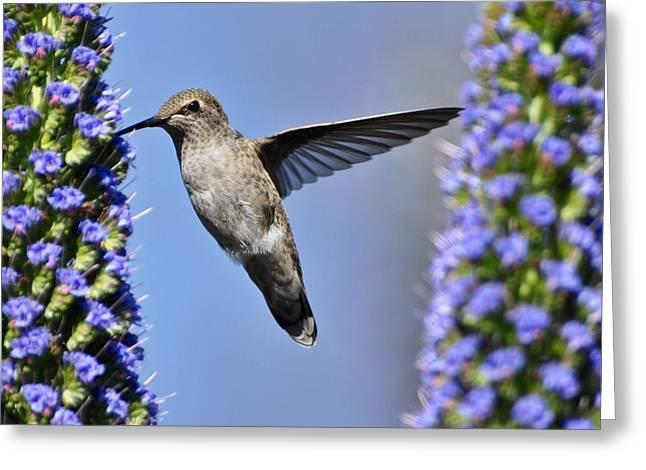 Hummingbird Hover Greeting Card