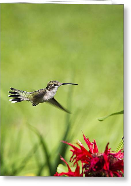 Hummingbird Hovering Over Flowers Greeting Card by Christina Rollo