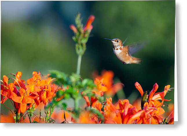 Hummingbird IIi Greeting Card