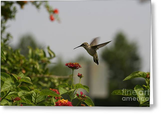 Hummingbird In Action 2 Greeting Card by Amanda Collins
