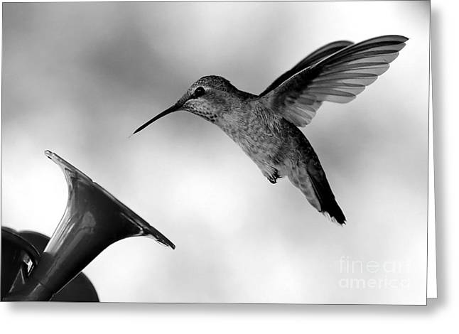 Hummingbird In Black And White Greeting Card by Carol Groenen