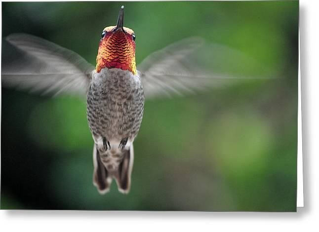 Greeting Card featuring the photograph Hummingbird In Flight Male Anna by Jay Milo