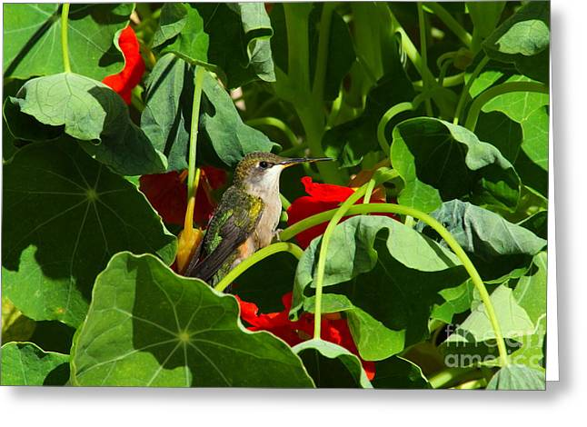 Greeting Card featuring the photograph Hummingbird In The Nasturtiums by Marjorie Imbeau
