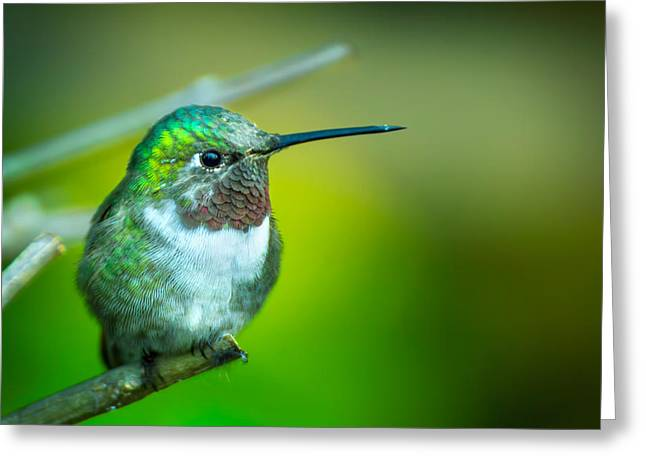 Hummingbird Greeting Card by Mark Andrew Thomas