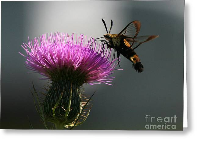 Hummingbird Moth II Greeting Card by Douglas Stucky